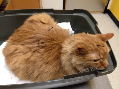 Diabetes Cat got Acupuncture